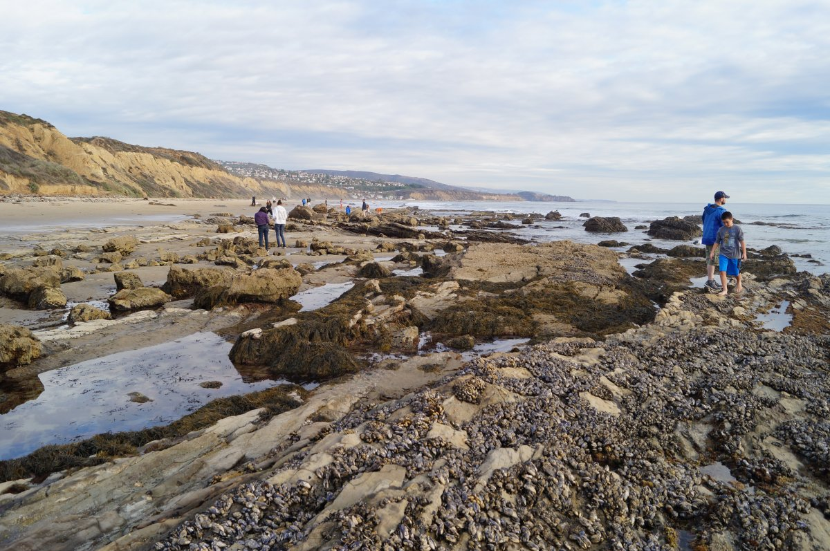 Crystal cove state park pelican point tide pools california tide mussels are common on the exposed rocks nvjuhfo Image collections