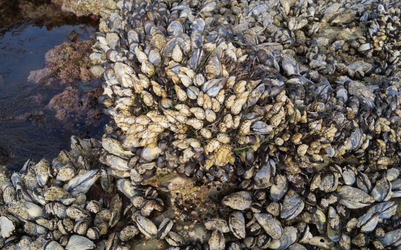 Gooseneck Barnacles with mussels