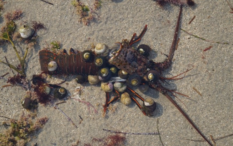 A Lobster molt ( shell discarded during growth phase ) with snails feeding on remains