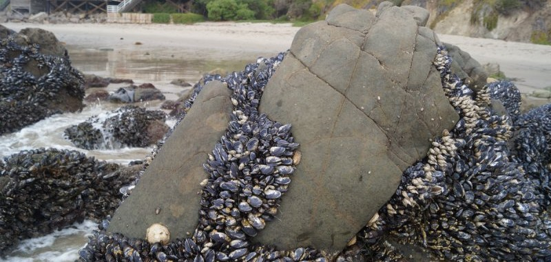 The bare spots are grazed over by large Owl limpets