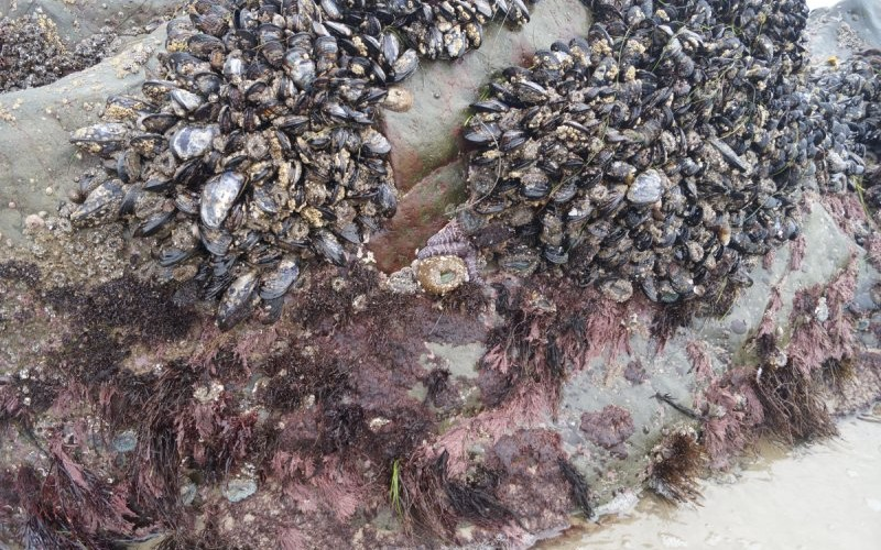 Sea star, anemone, red algae are present on this rock. Sea start is small, brown next to anemone in this picture.
