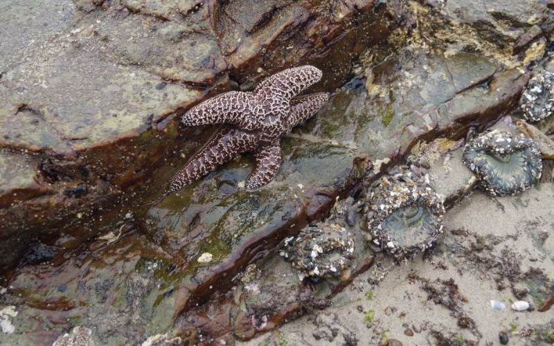 Sea star exposed on rock at low tide