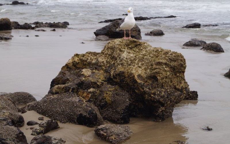 A lone seagull stands atop one of the many rocks in the tidepool area