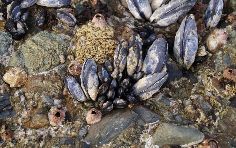 Various mussels, barnacles and limpets cover most all the rocks
