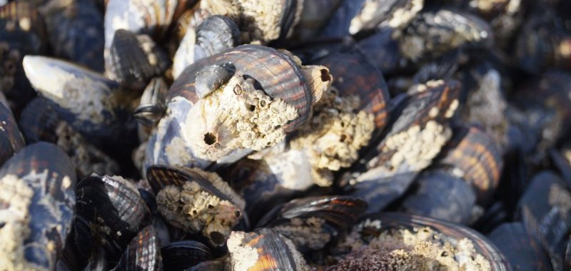 Assorted barnacles growing on large mussels