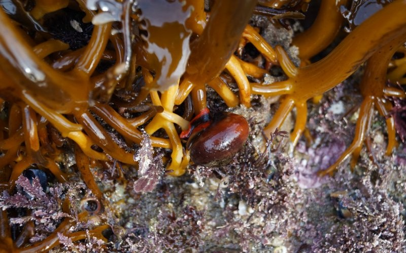Kelp snails can be found in the lower tidal areas