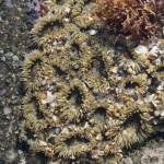 Group of open aggregating anemones in water