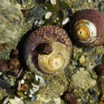 Two larger Black Turban snails with smaller periwinkles