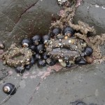 Black Turban snails will frequently aggregate in shallow cracks and depressions at low tide