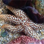 Giant sea star in aquarium