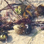 Hermit crabs feeding on algae