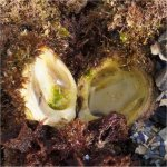 Jewel box clam with closed shell. The top part is usually covered with algae and hard to see