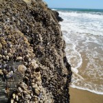 Mussels live in a similar niche as Gooseneck Barnacles