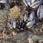Adult and juvenile mussels