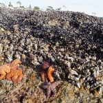 Ochre sea stars feeding on mussels. They are the reason for the lower limit
