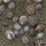 Various limpets on rocks