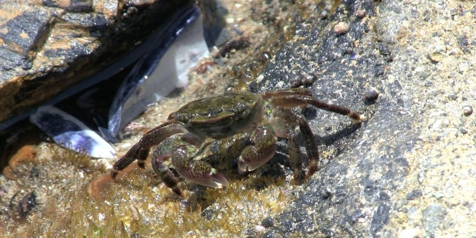 Crabs And Lobsters California Tide Pools