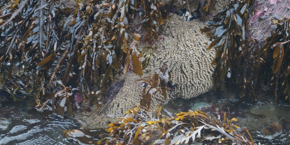 Animals That Live In Tubes California Tide Pools